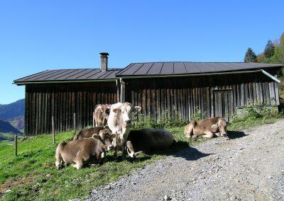 Alpe-Rinder